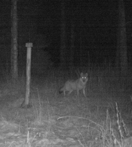 """Ilmajoen metsästysseuran puheenjohtaja: """"Susihavainnot ilmoitettava viranomaiselle"""""""